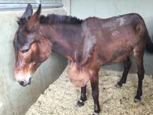 They thought their precious mule could never be saved.  Then they came to the American Fondouk