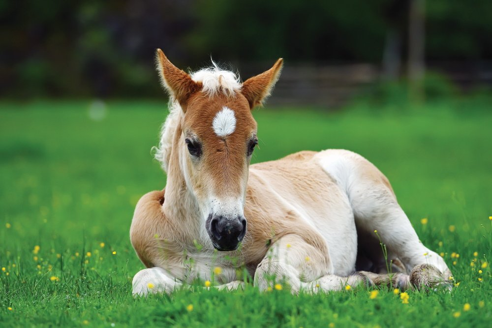 An orphan foal survived, thanks to quick thinking and a surrogate mother!